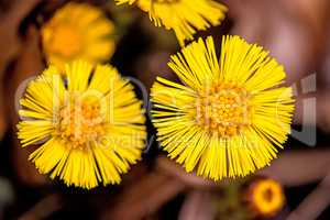 Coltsfoot, medicinal plant with flower in spring