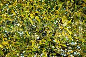 mistletoe in a fruit tree in wintertime in Germany