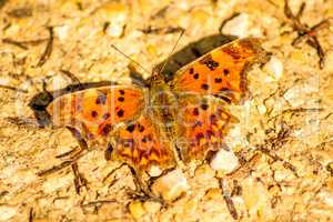 Polygonia c-album, butterfly of the German flora