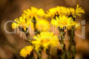 Coltsfoot, medicinal herb, flower in spring in a German forest
