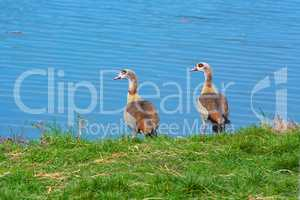 two nile gooses at a river