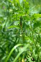 big Green Bush-Cricket (Tettigonia viridissima) in nature