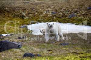 Polar bear attacked photographer.
