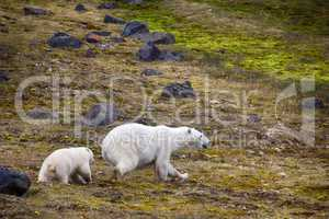 Polar Bears on Franz-Joseph Land. Female with cub