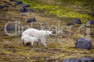 Polar Bears on Franz-Joseph Land. Female with cub