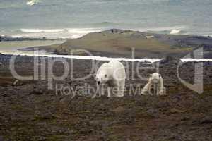 Polar bear on the Franz Josef Land.
