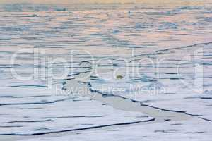 Polar bear near North pole (86-87 degrees north latitude)