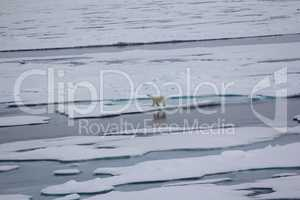 Polar bear goes into the expanses of the Arctic ocean