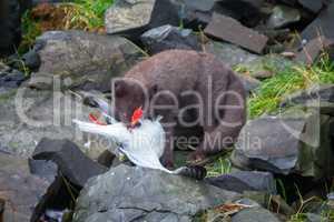 Blue Fox breaks bird Seagull, caught on rookery