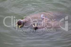 two Atlantic walruses Odobenus rosmarus rosmarus