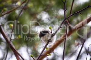 Willow tit (Parus montanus) in springtime.