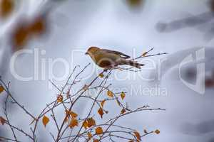Pine grosbeak (Pinicola enucleator) is typical bird of taiga