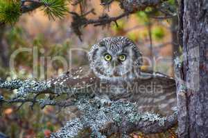 Tengmalm's owl is typical inhabitant of taiga