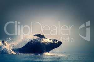 Whales in the Pacific (out of the water)