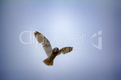 Short-eared owl (marsh owl, Asio flammeus) flies over nest
