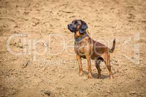 bloodhound standing alert on a field