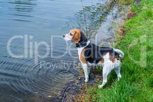 beagle hunting dog at a lake