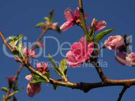 Blossom of a peach tree