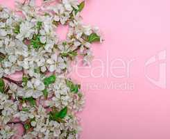pink background with blooming white cherry twigs