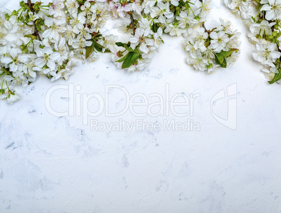 cherry branches with white flowering buds on a white textured su