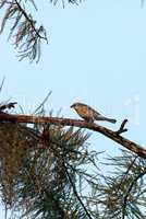 Palm warbler bird Setophaga palmarum eats a worm