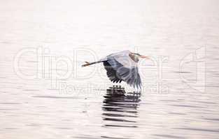 Great blue heron Ardea herodias in the wetland