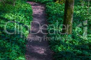 path in the forest with wild garlic
