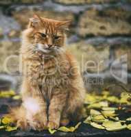 big adult sad red cat sitting