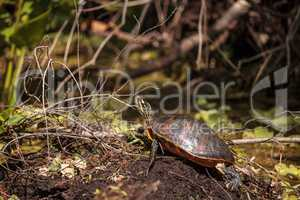 Florida red bellied turtle Pseudemys nelsoni