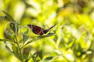 Monarch butterfly Danaus plexippus on a milk weed