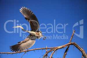 Great blue heron Ardea herodias looks out over the ocean