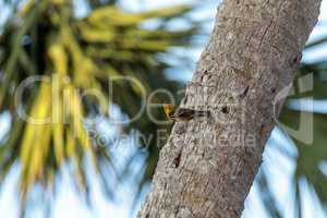 Pine warbler bird Dendroica palmarum at a bird feeder