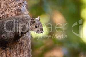 Fat eastern gray squirrel Sciurus carolinensis