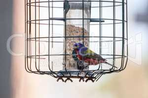 Bright Male Painted bunting bird Passerina ciris