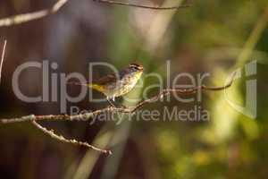 Palm warbler bird Setophaga palmarum