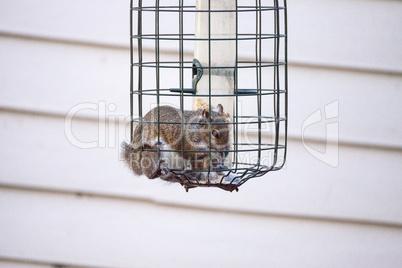 Fat eastern gray squirrel Sciurus carolinensis crammed into a bi