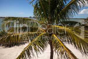 Royal palm tree with coconuts clustered among the palm fronds