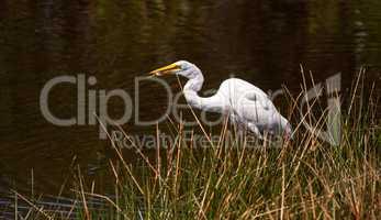 Great egret bird Ardea alba skewers fish