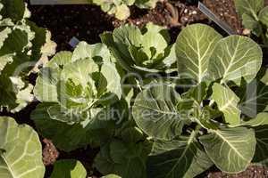 Flowering Kale known as Pigeon white grows in an organic vegetab
