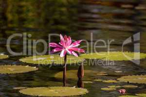 Pink red Water lily Nymphaeaceae blossoms among lily pads