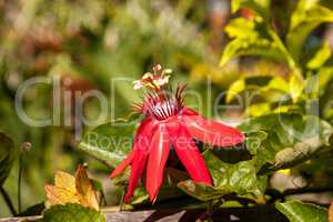 Scarlet flame red passionflower called Passiflora miniata
