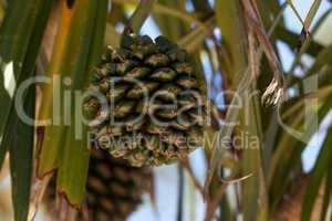 Screw pine fruit Pandanus utilis grows on a tree