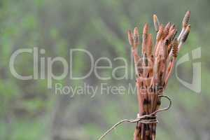 Bound fertile stems of Horsetail plant, ready for drying