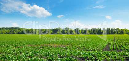 Green beet field and blue sky. Wide photo.