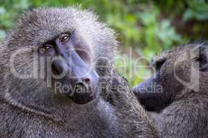 Female olive baboon grooms mate in close-up