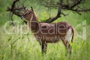 Female waterbuck in profile on grassy plain