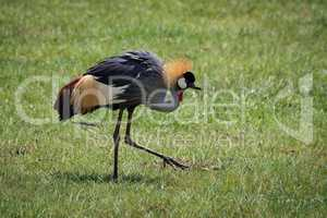 Grey crowned crane lifting foot on grassland