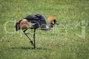 Grey crowned crane lifts foot on grassland