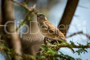 Grey-capped social weaver bird on thorny branch