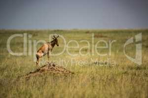 Hartebeest stands on termite mound in grassland